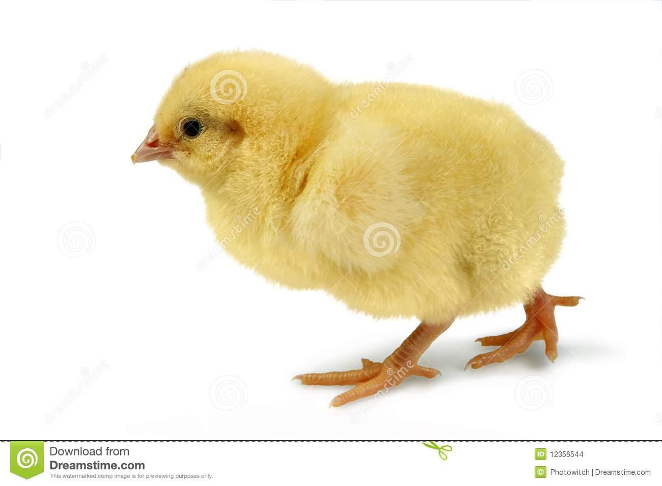 Цыпленок из пизды 9 фотография